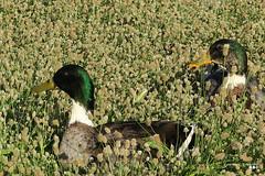 Keep watching... (Κώστας Καϊσίδης) Tags: watching nature urbannature ducks birds outdoor outside keratsini greece hellas spring sunlight sunny field