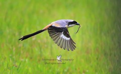 6F8A4523  Long-tailed Shrike.... a good catch of the day (EricBronson's Photography) Tags: longtailedshrike bird nature