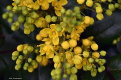 Ancora nel mondo del Giallo (Paolo Bonassin) Tags: italy emiliaromagna zolapredosa poggiorespighi zolapredosaviapredosa flowers wildflowers giallo