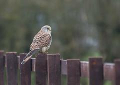 Kestrel 13-04-2018-4220 (seandarcy2) Tags: birds wildlife prey kestrel falcon raptors bucks uk stewkley