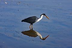 Pied Heron (Uhlenhorst) Tags: 2009 australia australien animals tiere vögel birds travel reisen