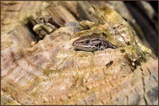 Common Lizard (image 1 of 3)