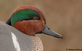 Green-winged Teal Drake Portrait - Burnaby, BC