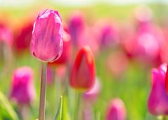 Tulips (mclcbooks) Tags: flower flowers floral macro closeup tulip tulips spring bulbs denverbotanicgardens colorado blackbackground