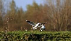J78A2657 (M0JRA) Tags: birds flight flying wildlife rats walks gardens parks fields trees lakes ponds ducks swans rspb