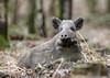 Wild Boar Sus scrofa Sowe 027-1 (cwoodend..........Thanks) Tags: forestofdean gloucestershire wildlife gloucestershirewildlife wildboar boar sowe susscrofa woodland