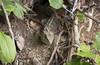 Zealandia ~ Tuatara (whitebear100) Tags: 2018 zealandia wellington newzealand nz northisland tuatara