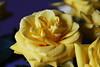 DSC_9021 (PeaTJay) Tags: nikond750 sigma reading lowerearley berkshire macro micro closeups gardens indoors nature flora fauna plants flowers bouquet rose roses rosebuds