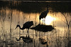 Tree of Life (Kenziu Garcia) Tags: sandhill cranes nesting by lake late evening