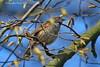Heckenbraunelle - Dunnock (Noodles Photo) Tags: heckenbraunelle dunnock hedgeaccentor hedgesparrow hedgewarbler passeriformes prunellidae prunella prunellamodularis baumbergeraue baumberg monheimbaumberg monheimamrhein urdenbacherkämpe urdenbach düsseldorf nrw nordrheinwestfalen northrhinewestphalia bergischesland deutschland germany canoneos7dmarkii ef100400mmf4556lisusm vogel singvogel bird aves