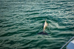 Dolphins are very common in San Carlos.  We had many swimming near the birthday boat.