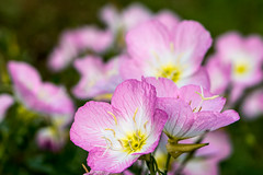 13:52 Pretty pink flowers all in a row (Woodlands Photog) Tags: texas wildflower mexica primrose nature flower pink