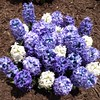 Chicago, Navy Pier, Chicago Flower and Garden Show, Blue and White Hyacinth Flowers (Mary Warren 10.5+ Million Views) Tags: chicago navypier chicagoflowerandgardenshow nature flora blue white blooms blossoms flowers hyacinth
