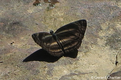 Neptis ilira cindia (Dark Dingy Sailer) (GeeC) Tags: animalia arthropoda brushfootedbutterflies butterfliesmoths cambodia darkdingysailer insecta kohkongprovince lepidoptera limenitidinae nature neptis neptisiliracindia nymphalidae papilionoidea tatai truebutterflies