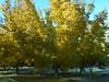 (sftrajan) Tags: otoño madrid realjardínbotánicoalfonsoxiii spain autumnfoliage españa botanicgarden jardimbotânico botanischergarten jardínbotánico jardinbotanique espanha espanya ботаническийсад