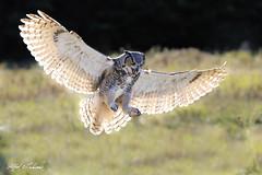 Great Horned Owl_T3W1852 (Alfred J. Lockwood Photography) Tags: alfredjlockwood nature greathornedowl canadianraptorconservancy flight landing backlight morning autumn canada crc ontario