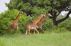 Giraffes (ashockenberry) Tags: grassland giraffe green grazing game reserve national park wild wildlife wildlifephotography wilderness safari savanna herbivores beautiful majestic long neck spotted tanzania travel tourism tarangire mammal nature naturephotography natural light habitat trees herbivore