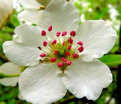 IMG_0075x (gzammarchi) Tags: italia paesaggio natura ravenna marinaromea puntealberete fiore colore bianco pero