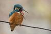Eisvogel mit Gewöll (Manuela Droz) Tags: alcedoatthis eisvogel kingfisher natur colorful