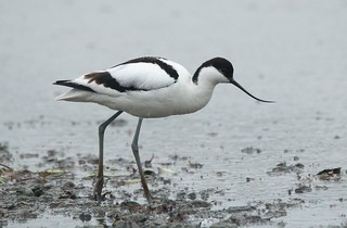 Avocet - on the South Lake
