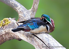 Restful (Gary Grossman) Tags: duck resting branch limb tree lake spring oregon portland bird colorful garygrossmanphotography woodduck drake pacificnorthwest crystalspringslake