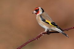 goldfinch (leonardo manetti) Tags: bird nature red winter colours naturephotography field natural nikkor countryside green morning black albero dawn cloud clody robin foto uccello goldfinch