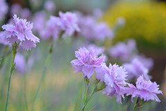 Dianthus (pinks) (Heathermary44) Tags: macro closeup flowers dianthus pinks purple lilac garden bokeh nature naturephotography summer shallowdof