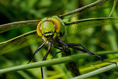 Emporor Dragonfly (RobLesliePhotography) Tags: leica100400mm