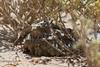 Caprimulgus aegyptius (Santy1964) Tags: desert desierto marruecos moroccobirds chotacabrasegipcio