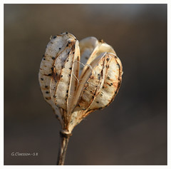 Frökapsel (G.Claesson) Tags: bildentusiasterna sverige småland lövhult frö frökapsel macro seed