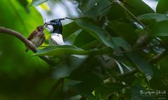Indian paradise flycatcher (Terpsiphone paradisi) (Biswajit Ghosh'76) Tags: ngc flycatcher indianbird india birdindia indian feeding bird white green