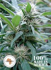 Apondo_Mystic_5701a08bc2804 (Watcher1999) Tags: apondo mystic cannabis seeds medical marijuana bob marley growing smoking weed legalize it reggae ganja