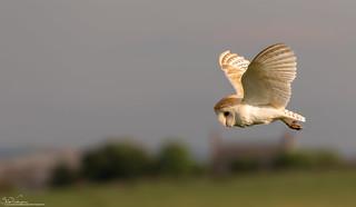 Sunlit Barn Owl Hunting