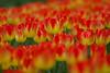IF8A0418 (cwhilbun) Tags: tulip keukenhof lisse holland netherlands orange yellow spring bulb suncatcher
