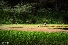 FISHING ON THE LAKE (len.austin) Tags: algae australia australianplants birds brisbane lake landscape subtropics