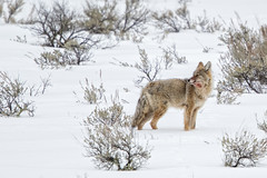 Looking for a place to nap (Patty Bauchman) Tags: canislatrans coyote montana wildlife nature animal snow winter