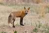 Red Fox vixen hanging out at one of her dens (TonysTakes) Tags: fox redfox weldcounty colorado wildlife coloradowildlife