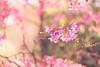 Sweet temptation (marcmyr) Tags: bumblebee hummel nature natur bokeh dof nikon d610 blossom cherry spring soft