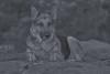 Liesl (Cruzin Canines Photography) Tags: animal animals canon canoneos5ds canon5ds canine 5ds eos5ds tamron tamron90mmf28dimacro11vcusd dog dogs domestic domesticanimal mammal pet pets germanshepherd shepherd liesl outdoors outside nature naturallight blackandwhite monochrome palmerpark colorado coloradosprings