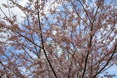 Cherry Blossoms (Clayton Perry Photoworks) Tags: vancouver bc canada spring explorebc explorecanada cherryblossoms sakura flowers pink skyline tree yaletown