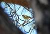 Iberian Chiffchaff (Phylloscopus ibericus) 07-04-2017 (Brian Carruthers-Dublin-Eire) Tags: phylloscopus ibericus iberian chiffchaff pouillot ibérique iberienzilpzalp mosquitero ibérico luí iberico iberische tjiftjaf passeriformes sylviidae phylloscopusibericus iberianchiffchaff pouillotibérique mosquiteroibérico luíiberico iberischetjiftjaf bird animalia animal aves avian nature wildlife portugal