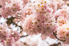 Bouquet of happiness (Maria Echaniz) Tags: salem oregon cherryblossom flower branches nature naturaleza trees treelovers usa canon t3i blossom closeup 50mm