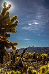 _DSC8322 (andrewlorenzlong) Tags: joshua tree national park joshuatree joshuatreepark joshuatreenationalpark california desert cholla chollas cactus garden chollacactusgarden