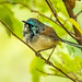 Red-winged Fairy-wren - non-breeding male