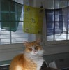 Jimmy with prayer flags (rootcrop54) Tags: jimmy orange ginger tabby male cat prayerflags laundry room light flags neko macska kedi 猫 kočka kissa γάτα köttur kucing gatto 고양이 kaķis katė katt katze katzen kot кошка mačka gatos maček kitteh chat ネコ