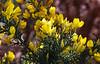 Fleurs de Printemps (Ciceruacchio) Tags: fleur fiore flower spring primavera printemps ajonc gorse ginestra butterfly farfalla papillon gold or oro yellow jaune giallo chateaubriand nikond750