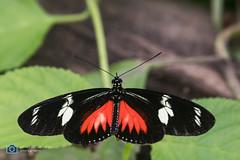 Butterfly (sattarmughal) Tags: rotterdamzoo rotterdam birdsphotography netherlands blijdorpzoo