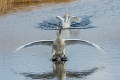 Touchdown. Mute Swan (Cygnus olor) - 'L' for large (hunt.keith27) Tags: cygnusolor muteswan white water canon sigma beak large feather wing angry westhay bowwave bird sea lake waterfowl animal
