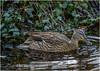 The Duck (rockheadz) Tags: duck ente water sonyalpha6300