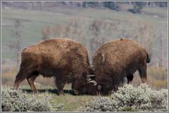 Dueling Bison 3593 (maguire33@verizon.net) Tags: bison buffalo yellowstone yellowstonenationalpark wildlife wyoming unitedstates us